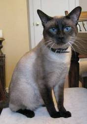 Siamese Male Cat - 2 years old