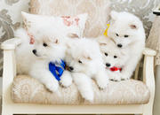 Pure Blood samoyed puppies for sale! White