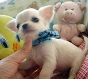Gorgeous Pedigree Chihuahua puppies
