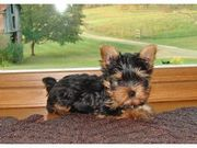 AKC yorkie pups being raised in my home.